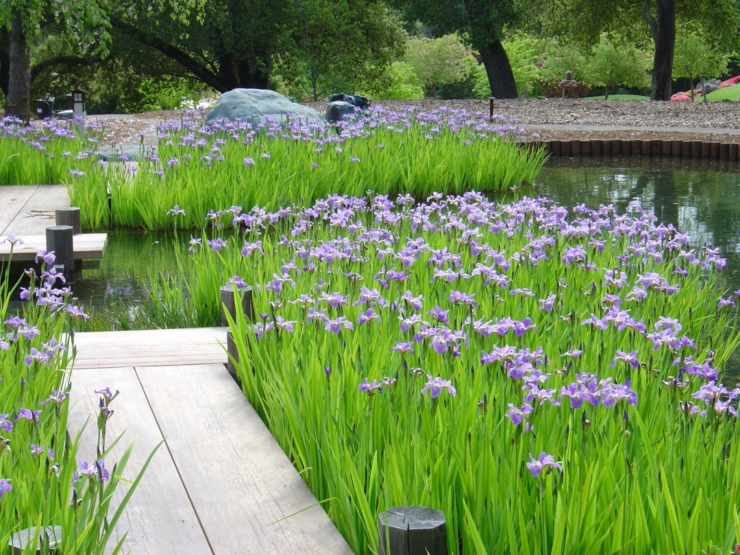 Iris, Color, Water, Maintenance  native blue iris plantings  Woodside Residence, Ron Herman, FASLA